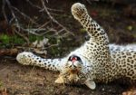Botswana Wildlife Breakaway